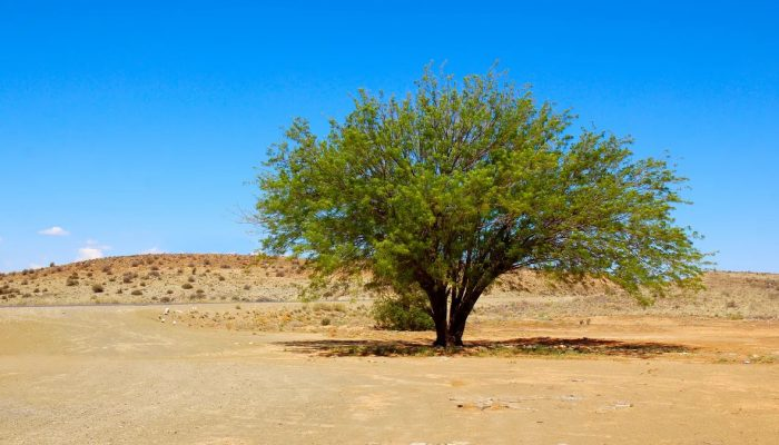 Mesquite tree wood